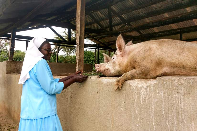 In June, 2018, ASEC staff also toured the Our Lady of Good Counsel (OLGC) farm where the sisters grow food and keep animals, like these pigs. Using the grant-writing skills she learned in ASEC's SLDI program, Sr. Lilian was able to secure funding to begin a dairy farm near the school, which supports both school and the congregation.