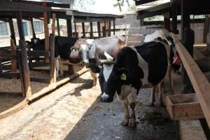 Sr. Susan Wanjiru and SLDI alumnae direct a dairy farming project