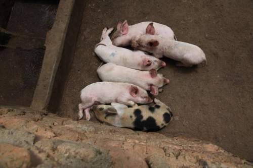 Sisters establish pig rearing for food and income generating projects.