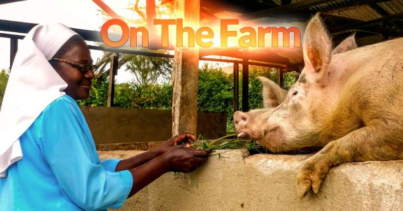 In June, 2018, ASEC staff also toured the Our Lady of Good Counsel (OLGC) farm where the sisters grow food and keep animals, like these pigs. An SLDI alumna, Sr. Mary Lilian Baitwakakye, was able to secure funding to begin a dairy farm, which supports both the congregation and the Boni Consilii Girls Vocational Secondary school.