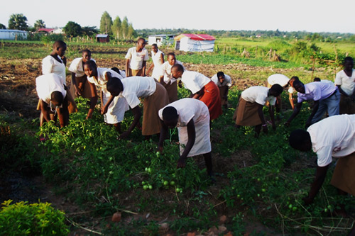 Students of agriculture together with their teacher working in their tomato garden weeding, thinning and harvesting some which are ready.