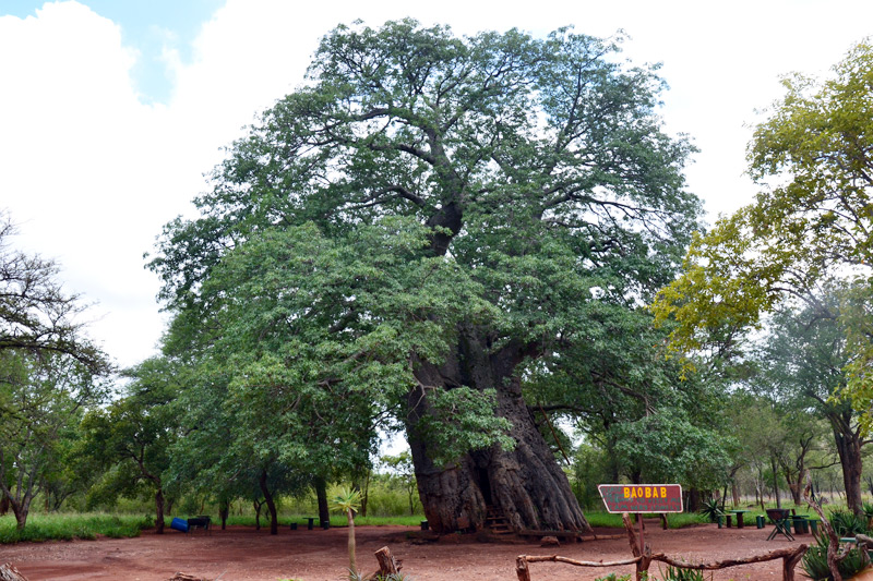 The oldest known tree in Africa is the baobab (Adansonia digitata) west of Gravelotte