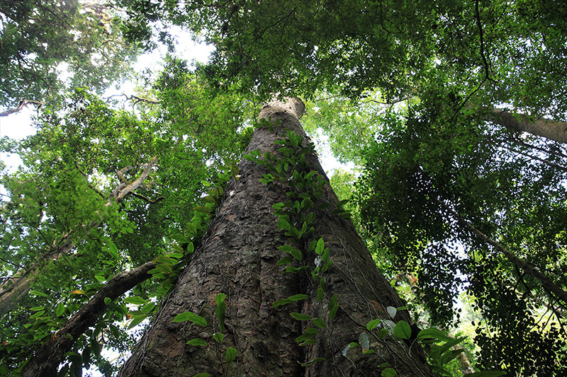 The colossus in Tanzania has matched Africa's previous tree-height record established by a specimen of the introduced Sydney blue gum (Eucalyptus saligna) in Limpopo, South Africa, which died in 2006.