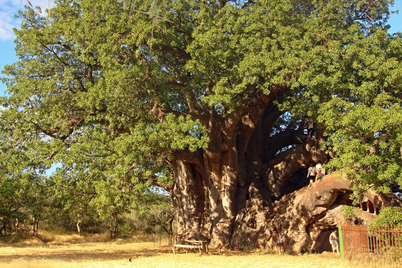 The Sagole Baobab is known as the largest tree baobab tree in South Africa